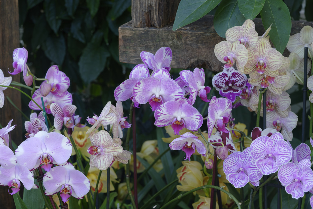row of orchids by rminer