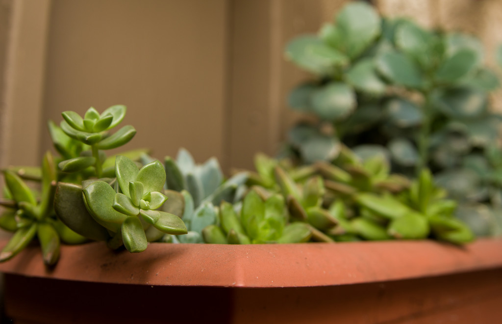 (Day 360) - Succulent Collection by cjphoto