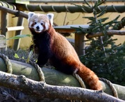 13th Feb 2019 - Red Panda
