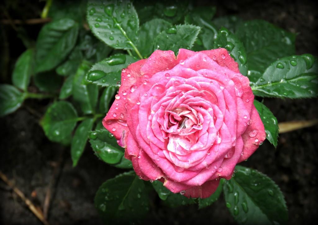 baby rose by cruiser
