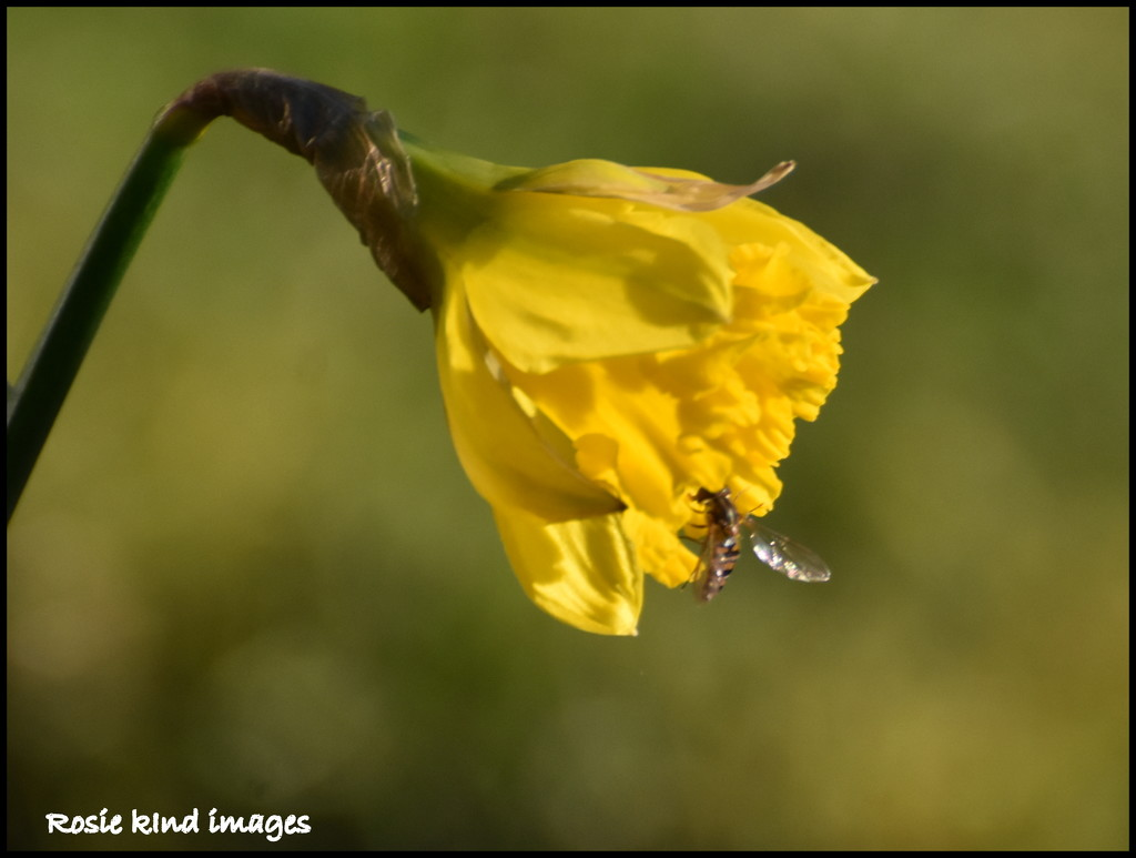 First bee on our first daffodil by rosiekind