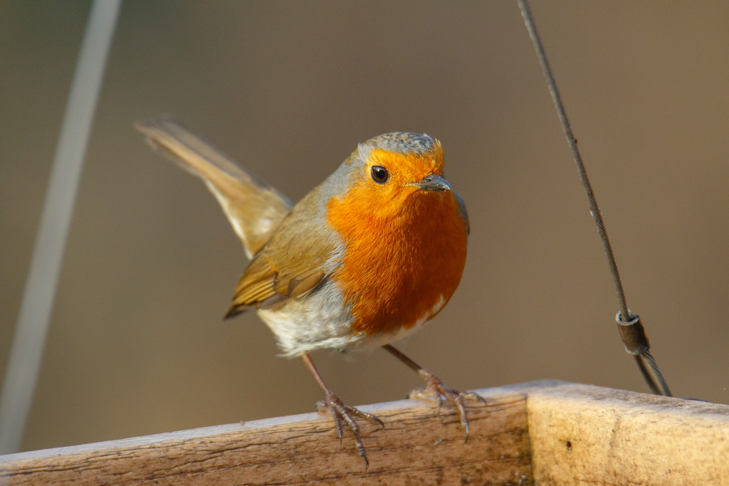 2019 02 14 - robin by pixiemac