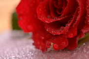 10th Feb 2019 - Rose and droplets.....