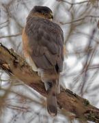 14th Feb 2019 - cooper's hawk