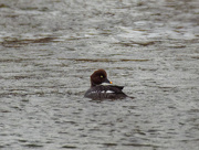 14th Feb 2019 - female goldeneye