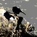 Reef heron Southbank