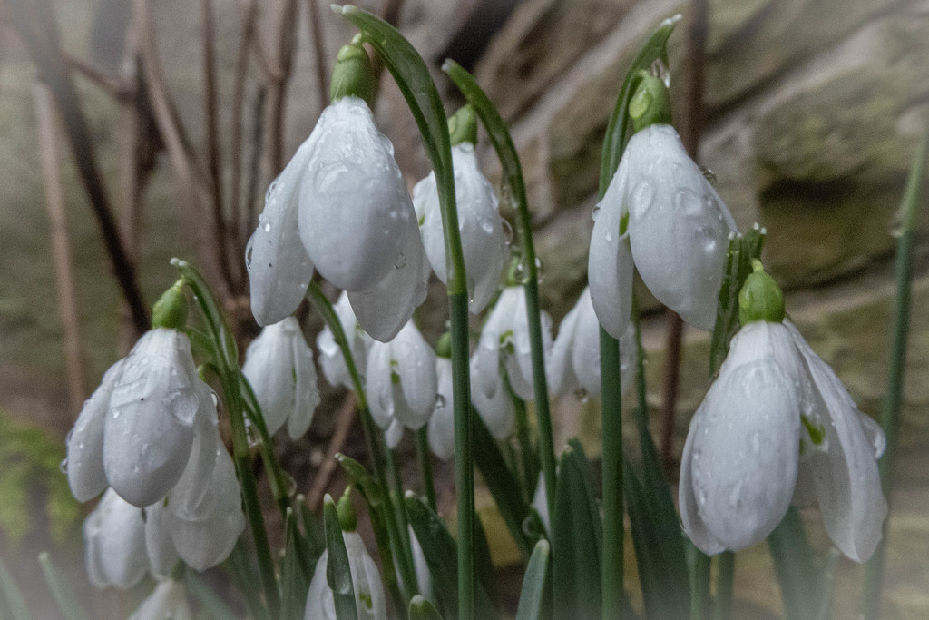 Raindrops on snowdrops by sheilaw