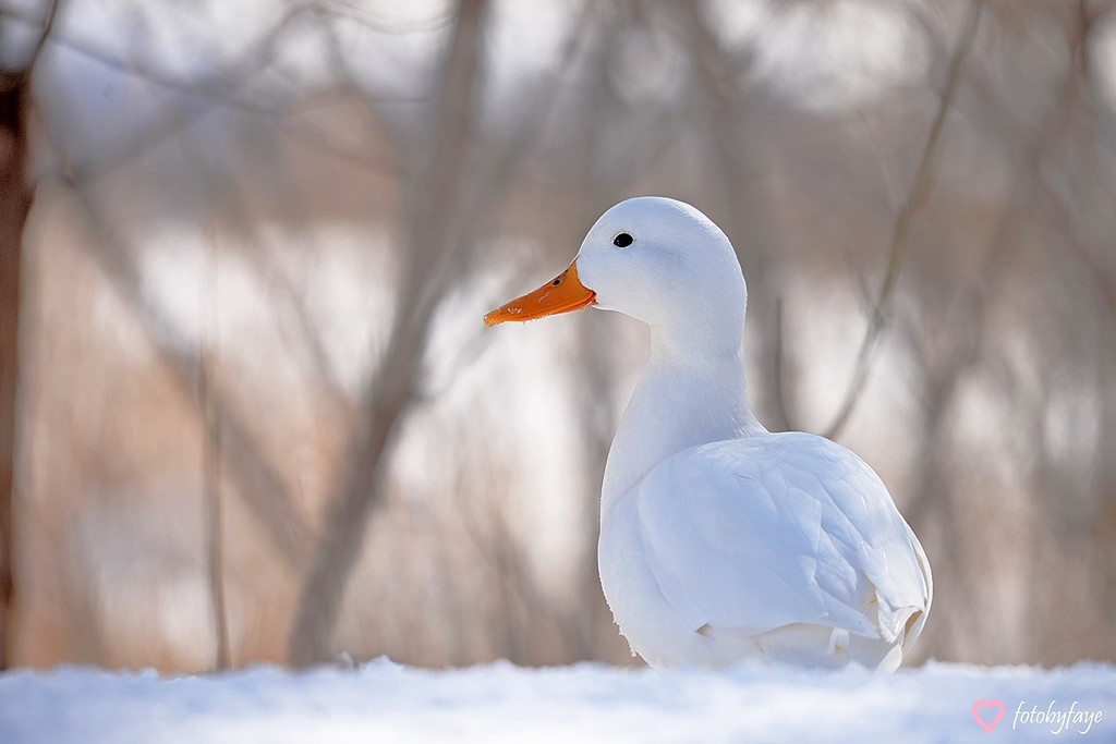 The beautiful white duck! by fayefaye