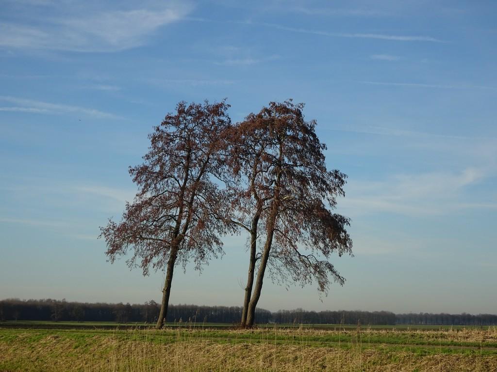 alder trees by gijsje