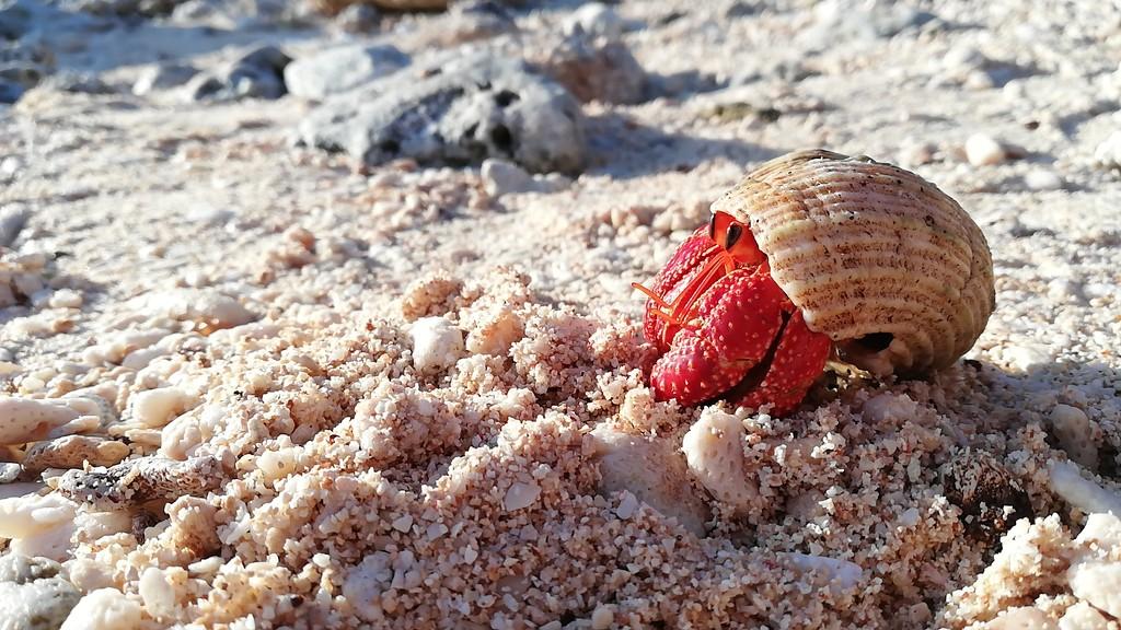 Strawberry hermit crab by julianneovie