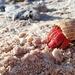 Strawberry hermit crab