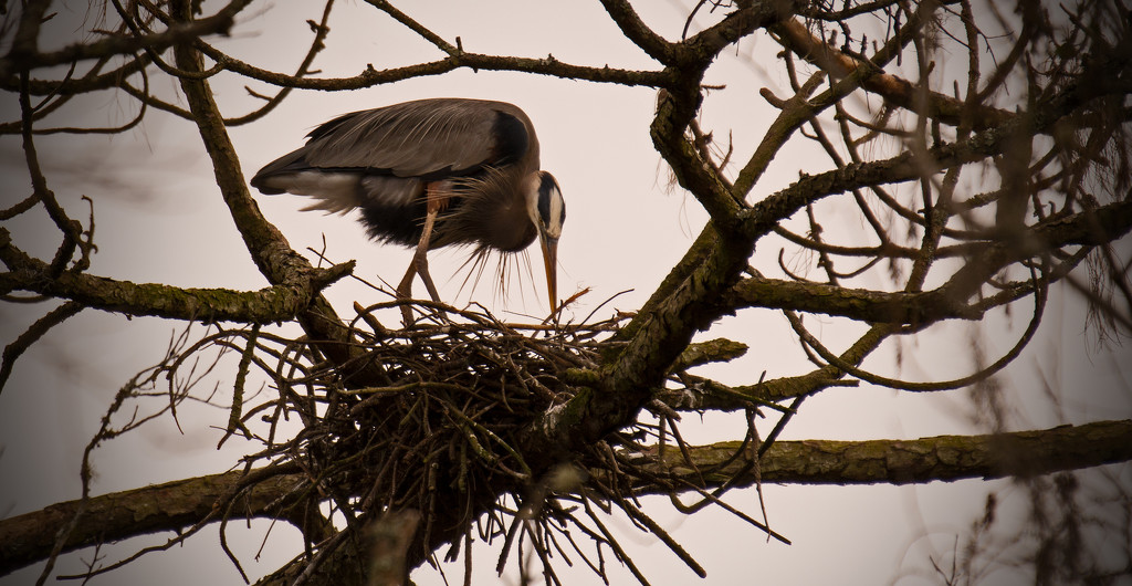 Mum, Just Re-arranging the Nest, Before Sitting Back Down! by rickster549