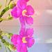 Orphium fructescens,