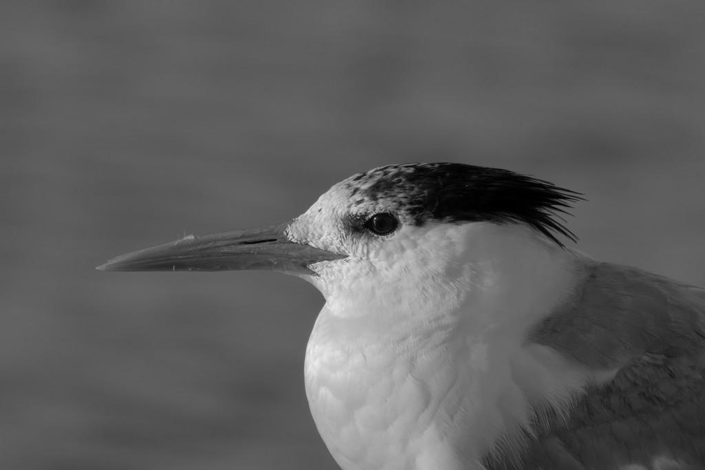 Crested Tern .._DSC6034 by merrelyn