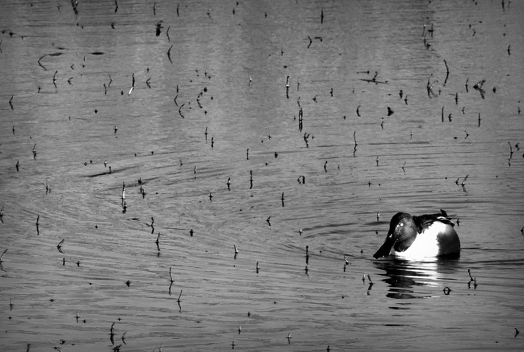 Flashofred2019 Day 15 - Same lake, different fowl. by judithdeacon