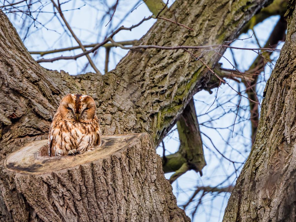 Tawny Owl by haskar