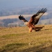 Red Kite-taking food by padlock