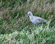 14th Feb 2019 - Willet