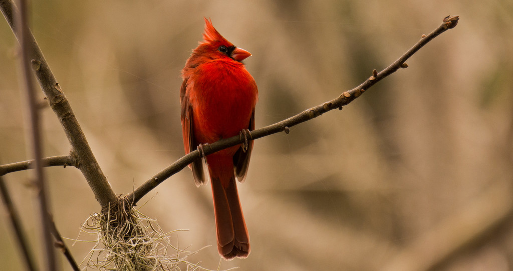 Mr Cardinal Sounding Off! by rickster549