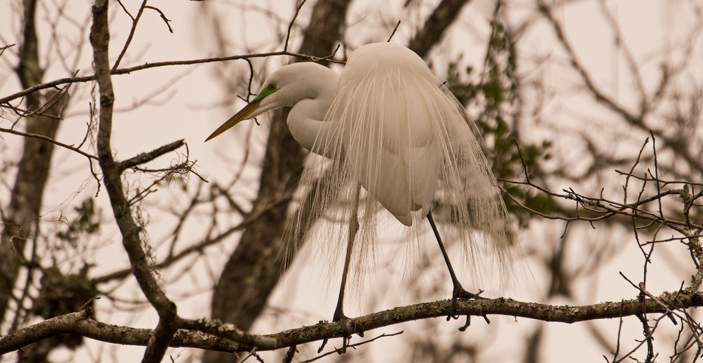 Egret in Mating Attire! by rickster549