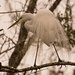 Egret in Mating Attire!
