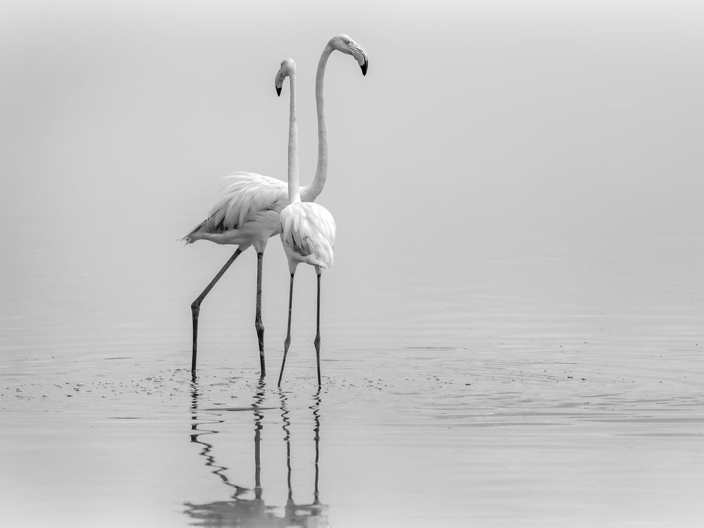 Flamingo Pair by taffy