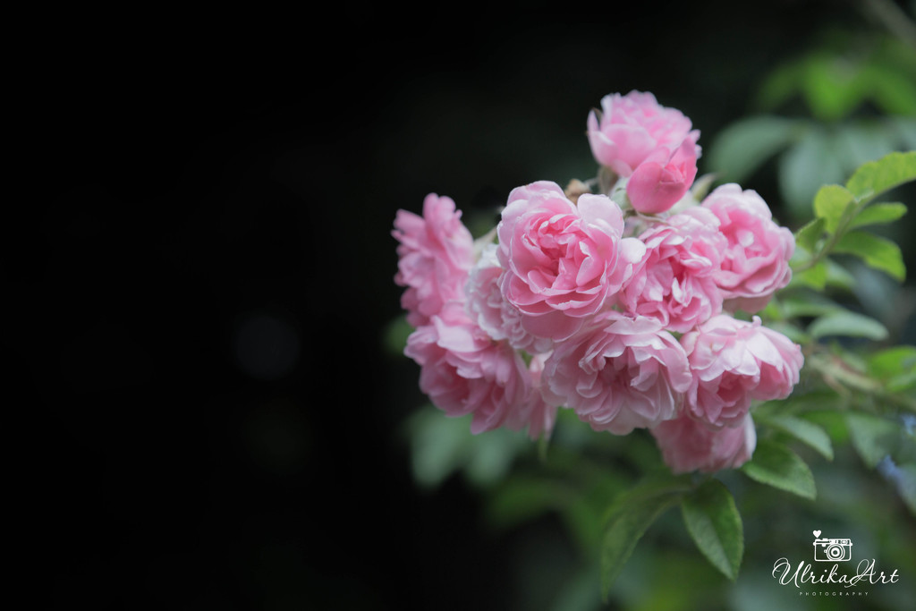 bunch of pink by ulla
