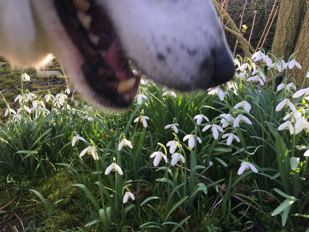 Wake Up and Smell the Snowdrops  by helenmoss