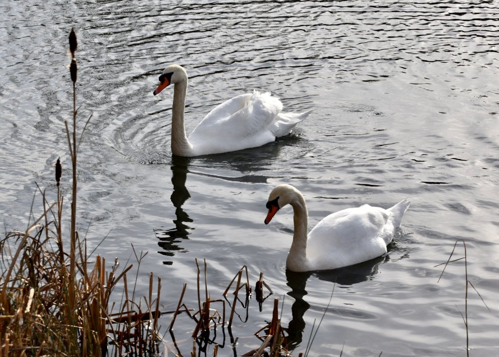 Swans by gillian1912