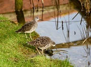 4th Feb 2019 - Sandpiper?