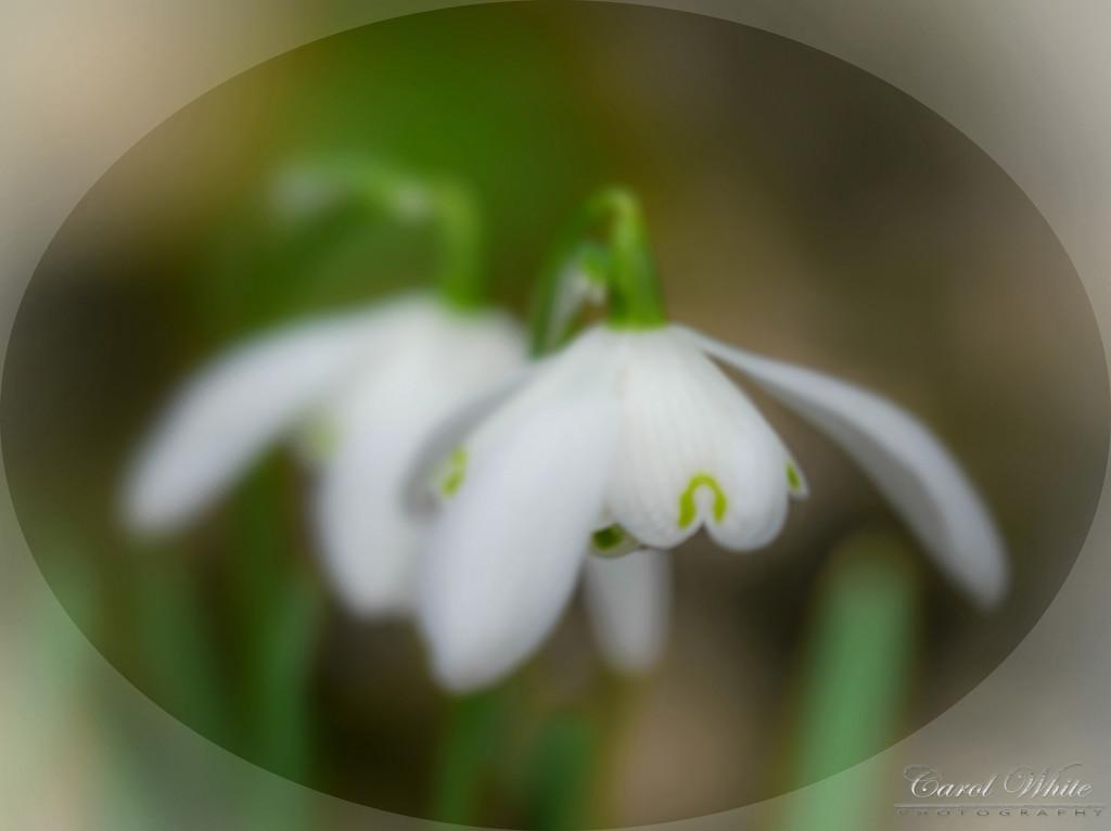 Snowdrops by carolmw