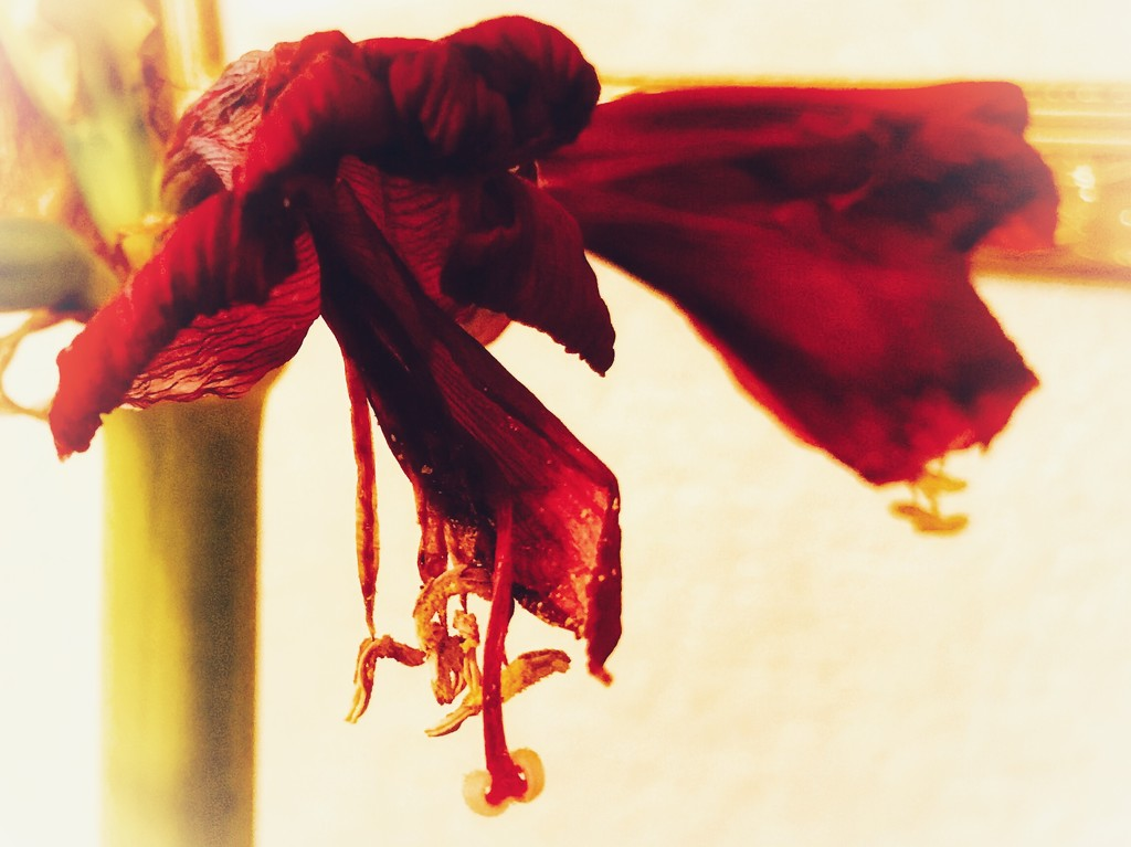The Amaryllis as art by louannwarren