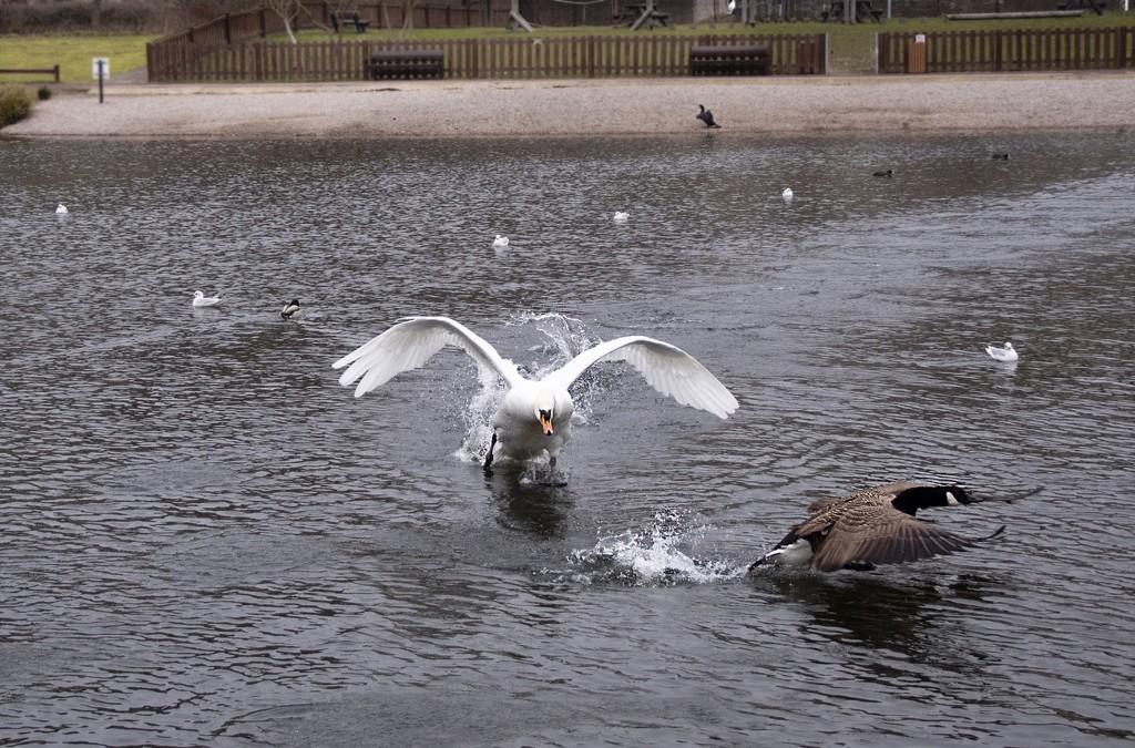 Mr swan at his antics again! by bizziebeeme