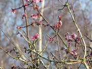 16th Feb 2019 - Spindle tree...