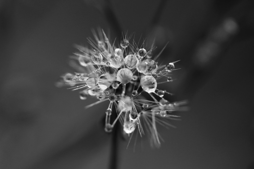 Mini dandelion with droplets by ingrid01