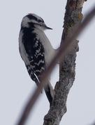 16th Feb 2019 - downy woodpecker portrait