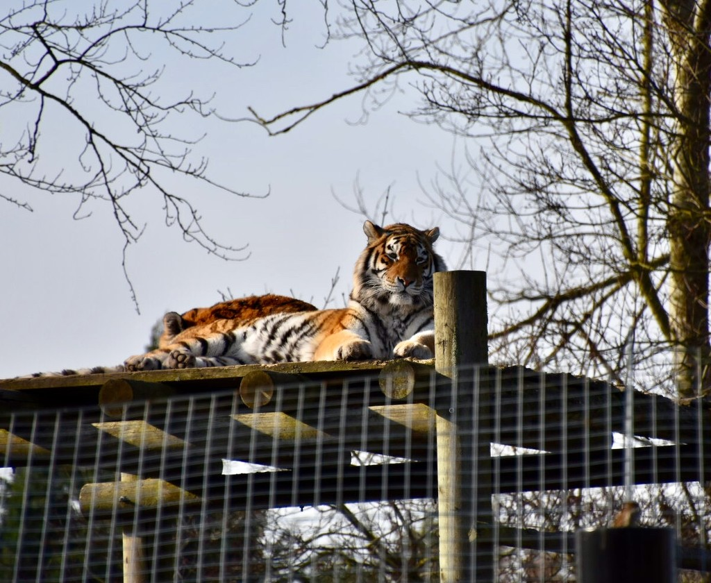 Tigers by gillian1912