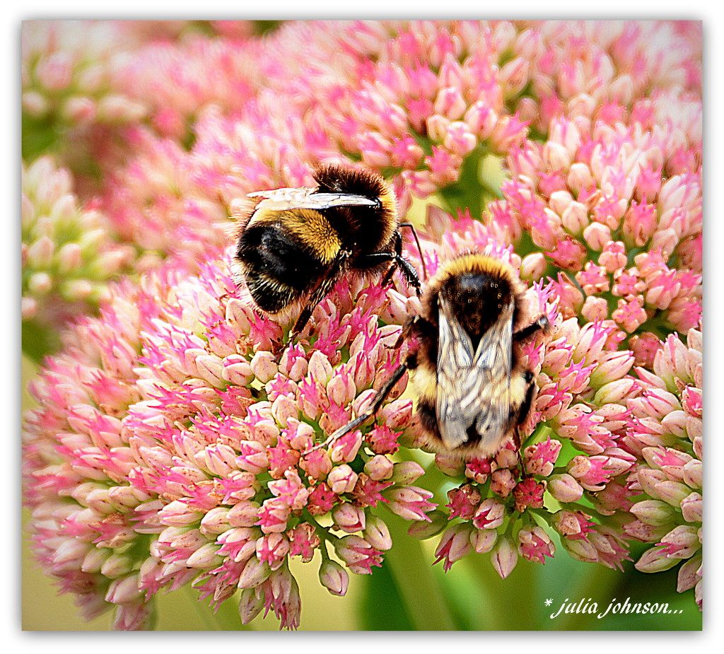 Bumbles on the Sedem... by julzmaioro