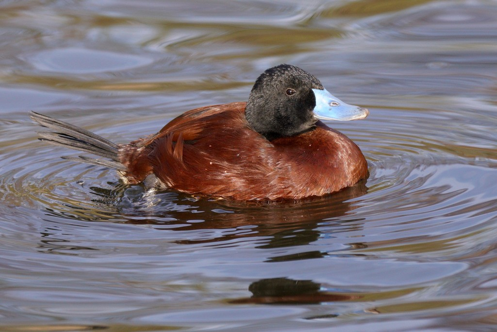 ARGENTINE RUDDY DUCK by markp