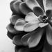 Succulent [4]