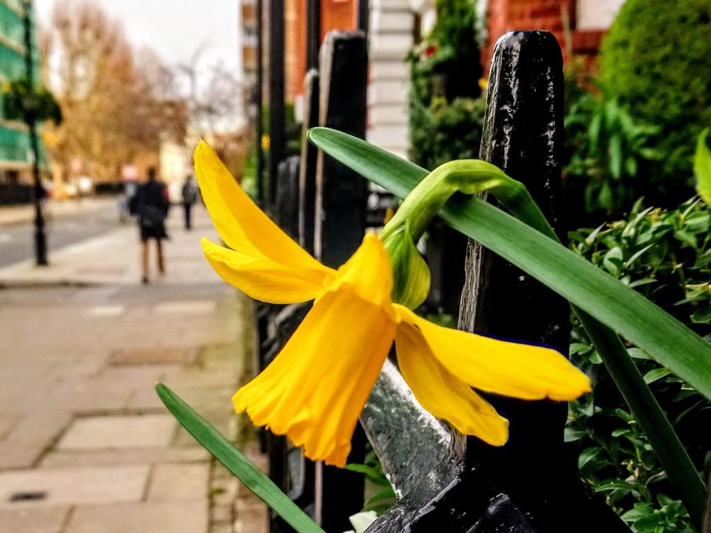 Urban daffodil by boxplayer