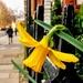 Urban daffodil