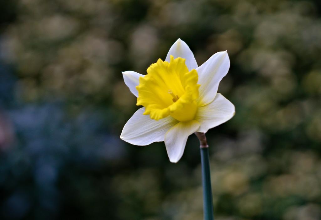 Helios Daffodil by phil_howcroft