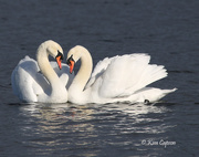 14th Feb 2019 - Swans in Love