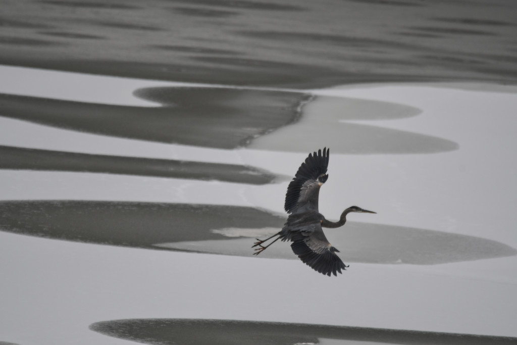 Blue Heron Over Ice by kareenking
