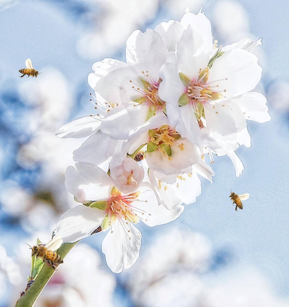 Almond Blossom  by joysfocus