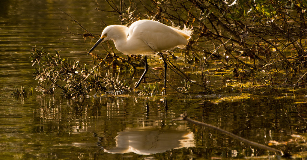 Snowy Egret and Reflection! by rickster549