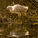 Snowy Egret and Reflection!