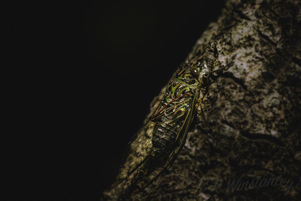 Cicada by kipper1951