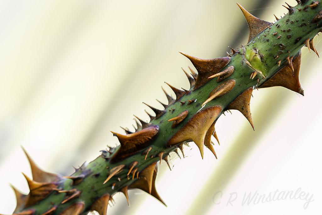 Thorns by kipper1951